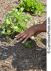 Planting the Garden - A womans hands planting in the garden