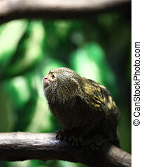 close-up portrait of a very tiny and very cute pygmy...
