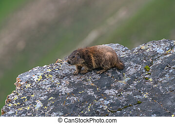 marmot on rock in alps mountain