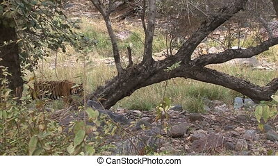 Bengal Tiger walking between trees on rocks