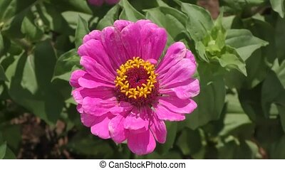 Zinnia flower sways in the wind - Zinnia flower sways in the...
