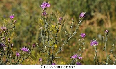 Pink thistle flowers in the wind tremble in the wind under...
