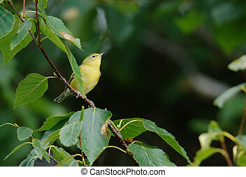 Perched yellow warbler - Cute perched yellow warbler amongst...