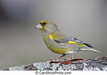 Greenfinch - Photo of greenfinch standing on a branch