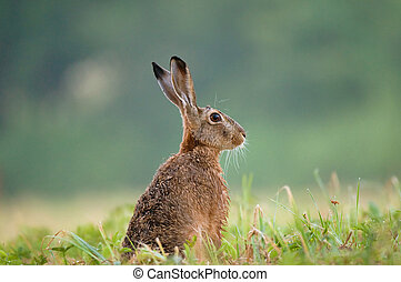 Brown hare - Photo of brown hare sitting in a grass