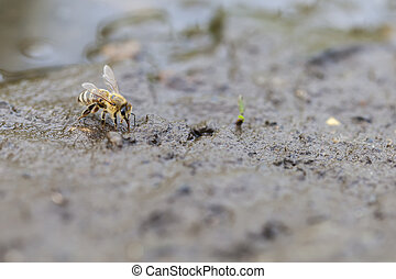 Honey bee - water collecting - Honey bee - Apis mellifera -...