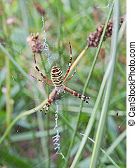 Wasp spider Argiope bruennichi in the meadow