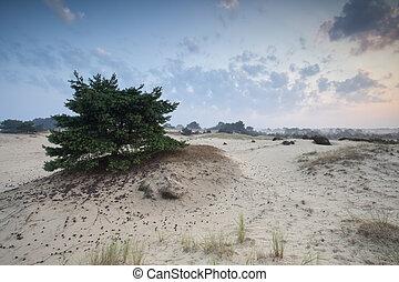 pine tree on sand dune at sunrise