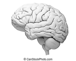 The human brain - medically accurate illustration of the...