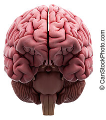 The brain - medically accurate illustration of the brain