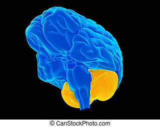 The cerebellum - medically accurate illustration of the...