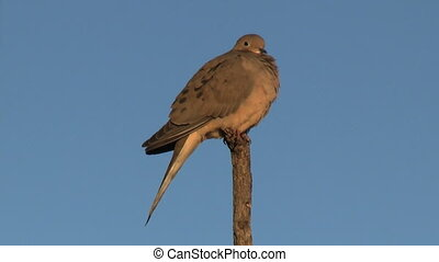 Mourning Dove.