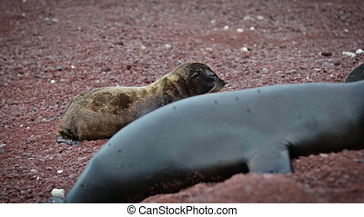 Four Galapagos Sea Lions - Four Galapagos sea lions on a red...