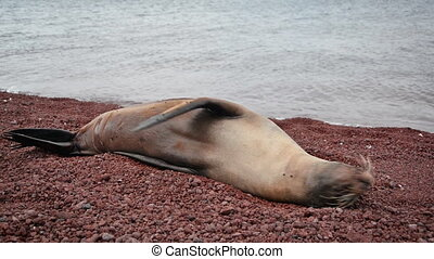 Galapagos Sea Lion - Galapagos sea lion on a red rocky beach...