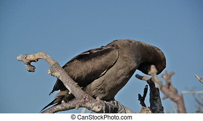 Juvenile Red Footed Booby - Juvenile red footed booby on a...