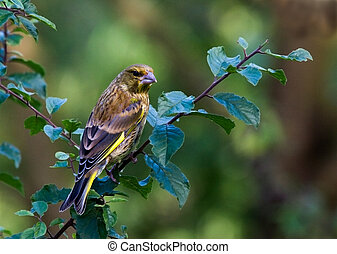Greenfinch - Male Greenfinch in a garden on a branch.