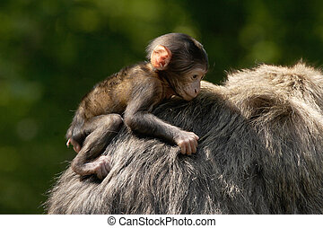 Young Monkey hanging on - A young Barbary Macaque monkey...
