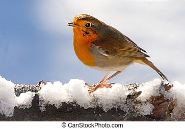 Robin in Winter - A Robin perches on a snow covered branch.