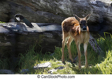 Fawn and Magpie - Small Sitka Fawn, still with spots, in the...