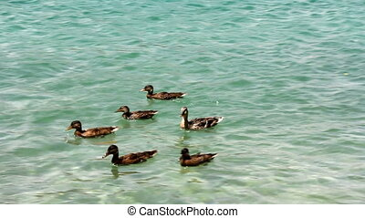 Ducks on the lake - Group of ducks swimming on the lake,...