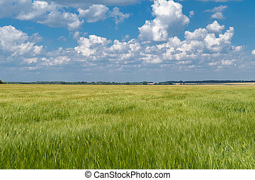 Green wheat field in countryside under cloudy sky