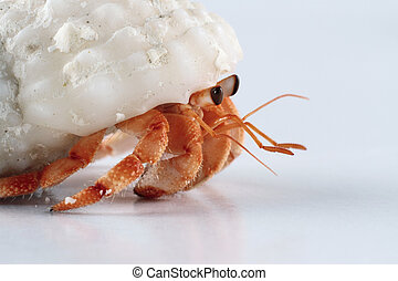 Hermit crab - A young hermit crab walking
