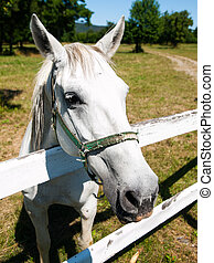 Portrait of Lipizzaner stallion standing behind fence,...