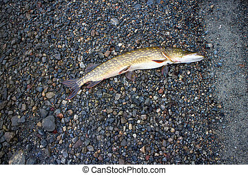 pike caught on the shores of the polar lake - pike fishing...