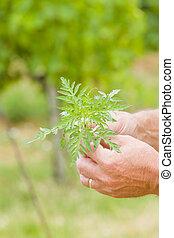 Ragweed before blossoming - Rageweed before flowering -...