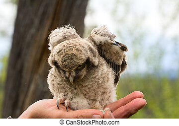 Trusting owlet sitting on ornithologist hand - Little fluffy...