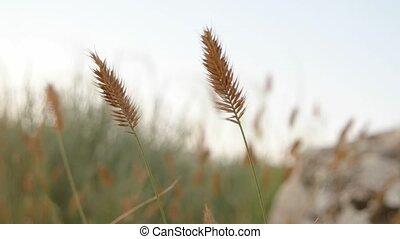 Dried Grass on the wind (Dasypyrum villosum)