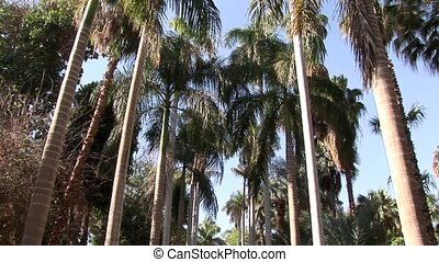 Palm Trees - Lord Kitchner Island, Egypt