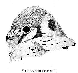 American Kestrel - Falco sparverius - Sparrow Hawk