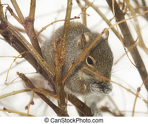 Squirrel in Branches - Squirrel nestled in branches feeding...