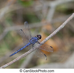 Blue dragonfly - Blue and black dragonfly that is on a stick