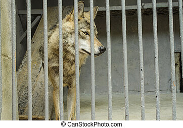 Young the gray wolf  in a cage