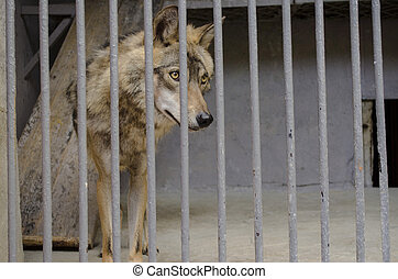 Gray wolf  behind the bars