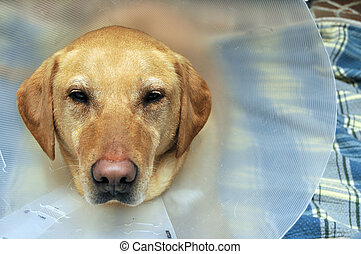Injured Yellow Lab Dog with Cone - Close up of a yellow labs...
