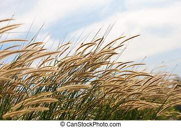 Pennisetum flower in blue sky