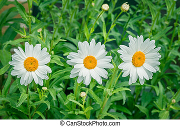 White marguerites on a row in the summer