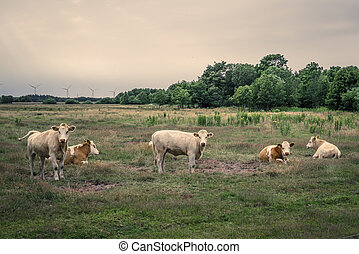 Cattle on a field in cloudy weather