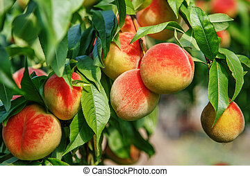 Ripe sweet peach fruits growing on a peach tree branch -...