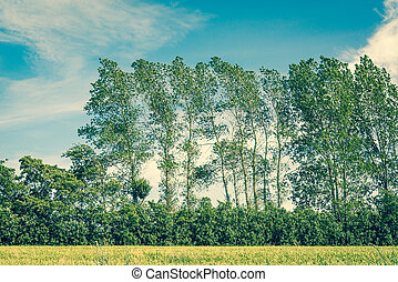 Tall trees on a field with blue sky