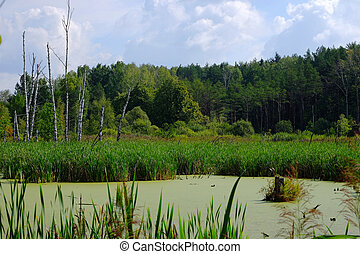 Swamp in a forest - Swamp overgrown with reeds on the...