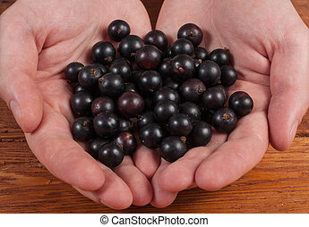 hands holding fresh berries black currant blackberry