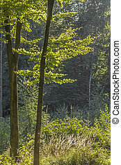 Deciduous forest in Germany - Deciduous forest in Lower...