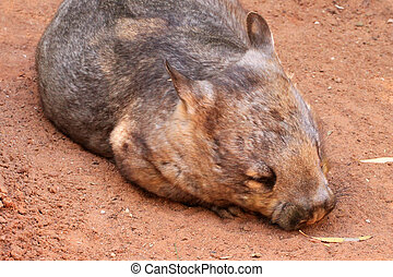 Southern Hairy-Nosed Wombat - Lasiorhinus latifrons -...