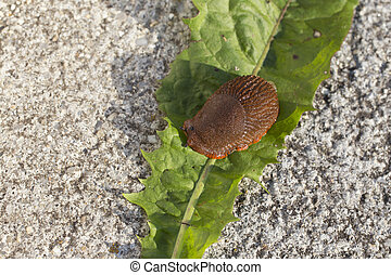 slug - Portuguese slug - Arion lusitanicus - in the garden
