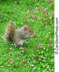 squirrel in hyde park (London)