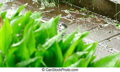 Wagtail bird - Wagtail looks for insects in the grass after...